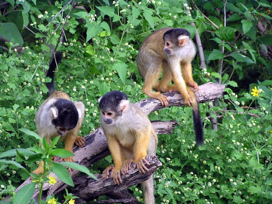 Wild Squirrel Monkeys