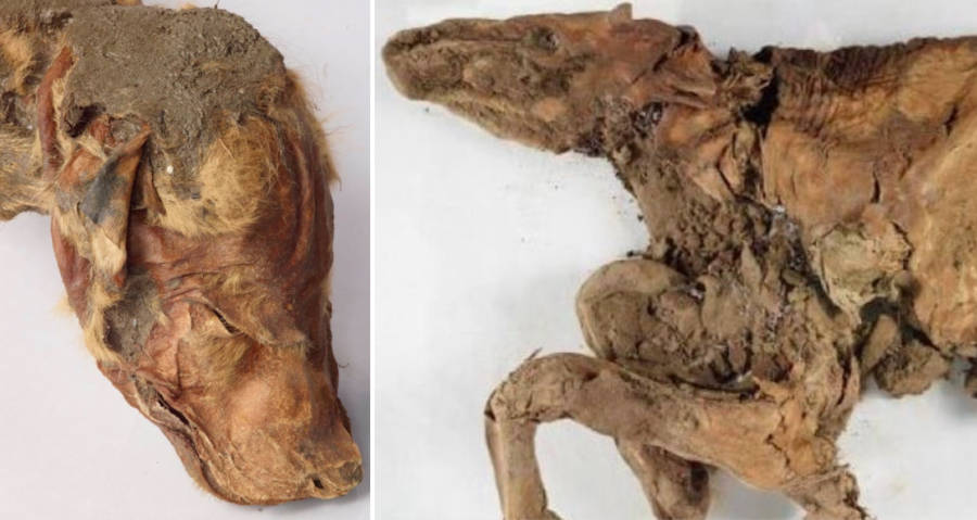 Mummified Ice Age Mammals Found Well-Preserved In Permafrost