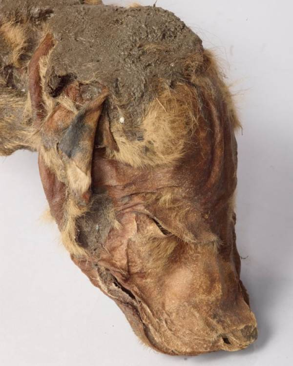 Wolf Pup Head