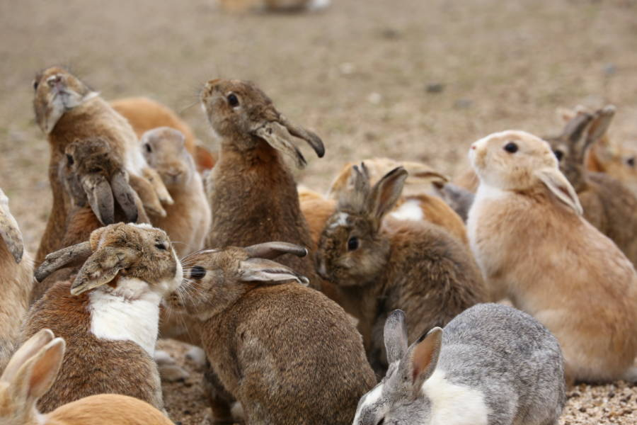 Group Of Bunnies On Rabbit Island