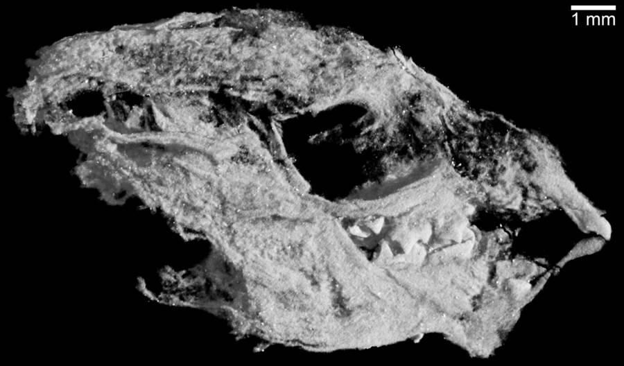 Kayentatherium Babyskull