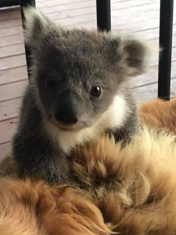 Baby Koala Closeup
