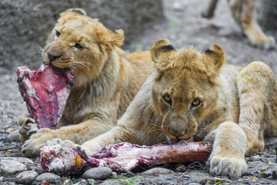 Lions Eating Meat
