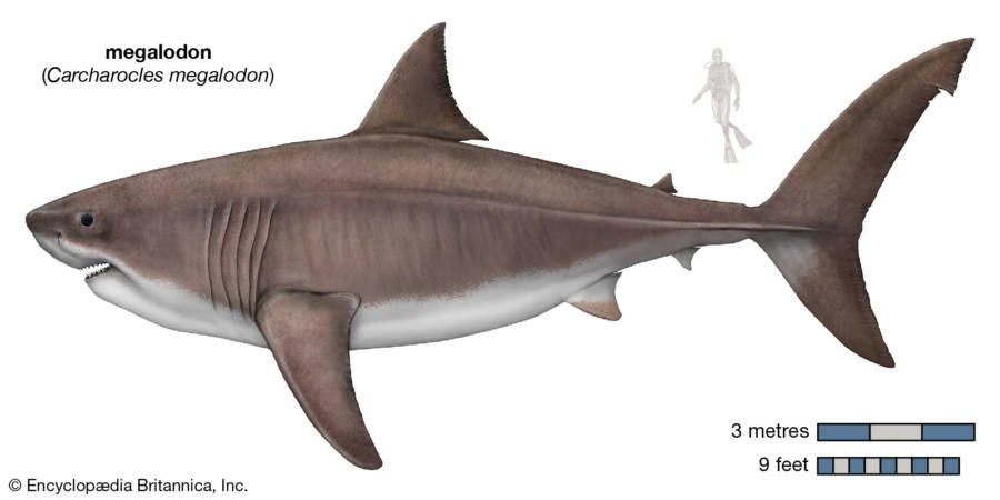 Megalodon: History's Largest Predator That Mysteriously Vanished