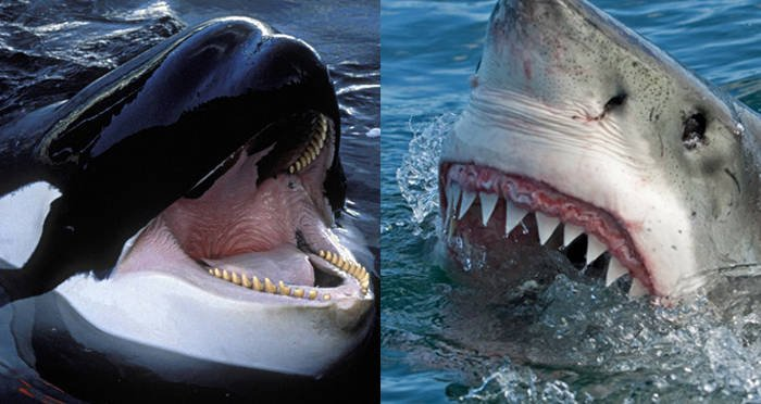 For Some Reason, Killer Whales Are Horrifically Murdering Great