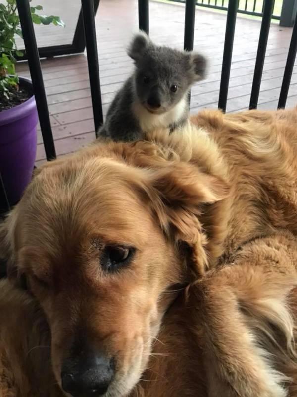 Golden Retriever Rescues Baby Koala