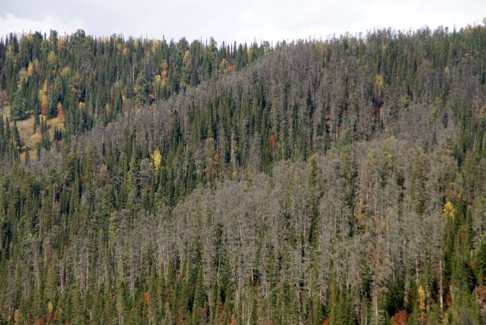 Trees Dying Due To Armillaria