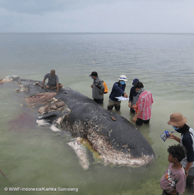 Sperm Whale Filled With Plastic