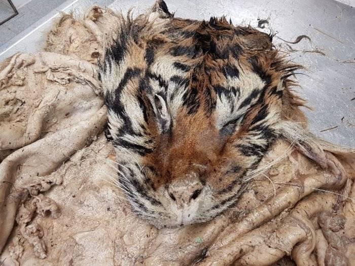 Illegal Tiger Slaughterhouse