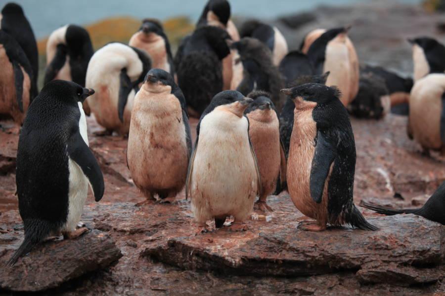 Adélie Penguin Poop