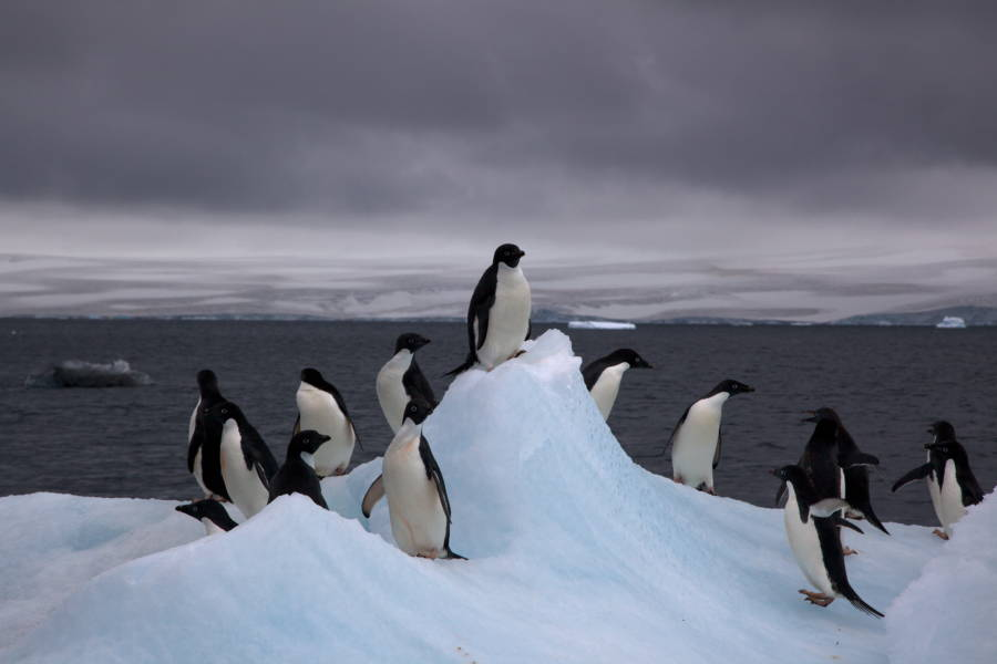 Adelie Penguins On An Iceberg