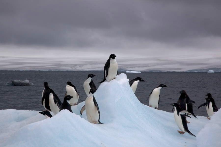 Adelie Penguins On An Iceberg