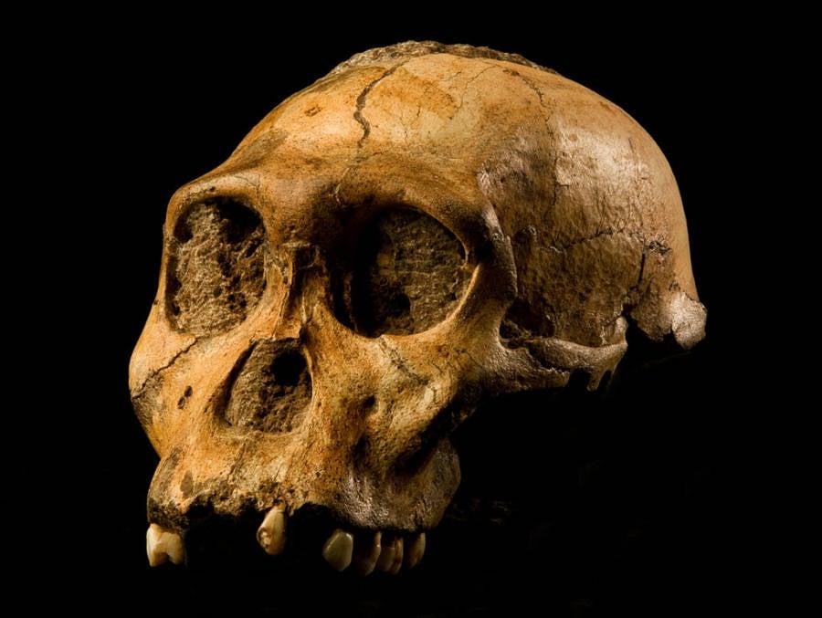 Au Sediba Skull