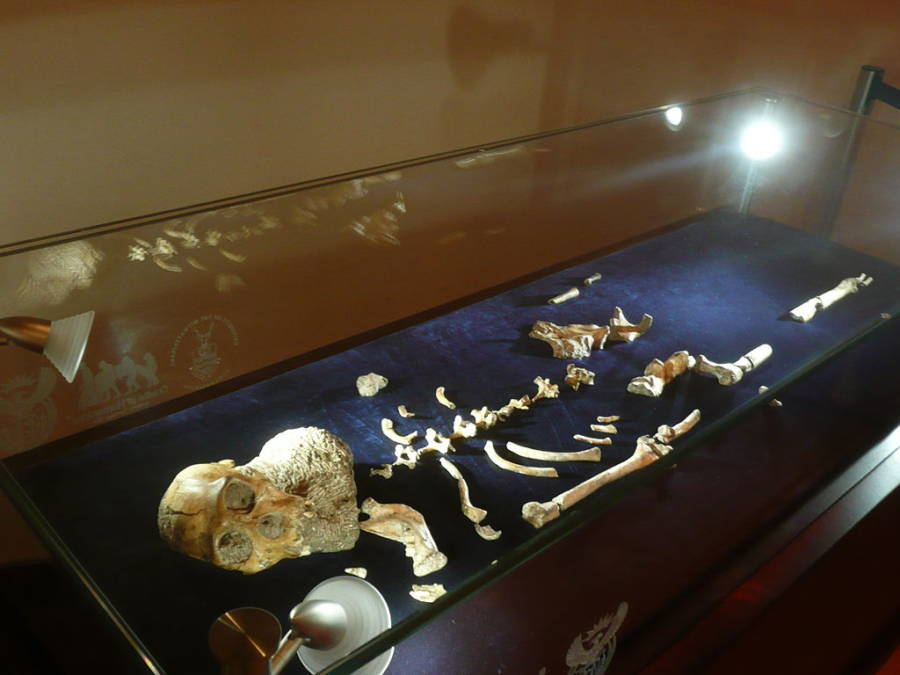 Au. Sediba Full Skeleton Display