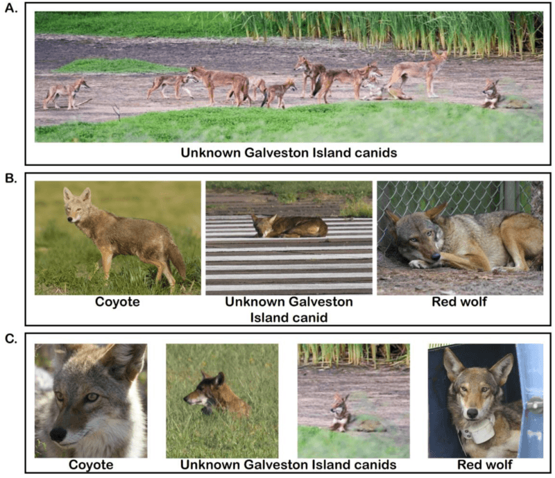 Comparison Between A Coyote And Red Wolf