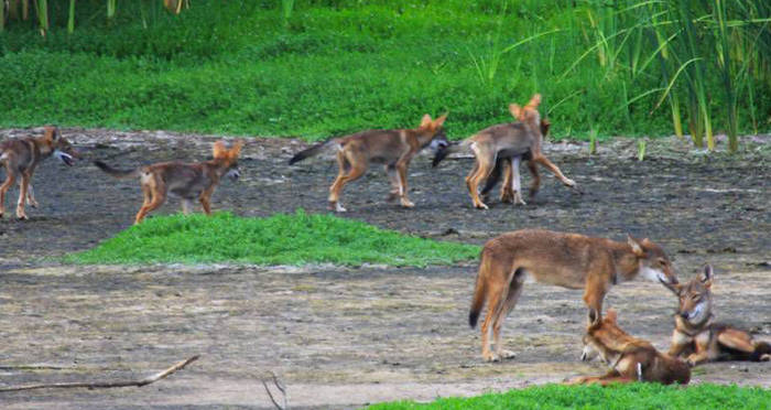 DNA Of An Extinct Wolf Found In A Pack Of Wild Dogs In Texas