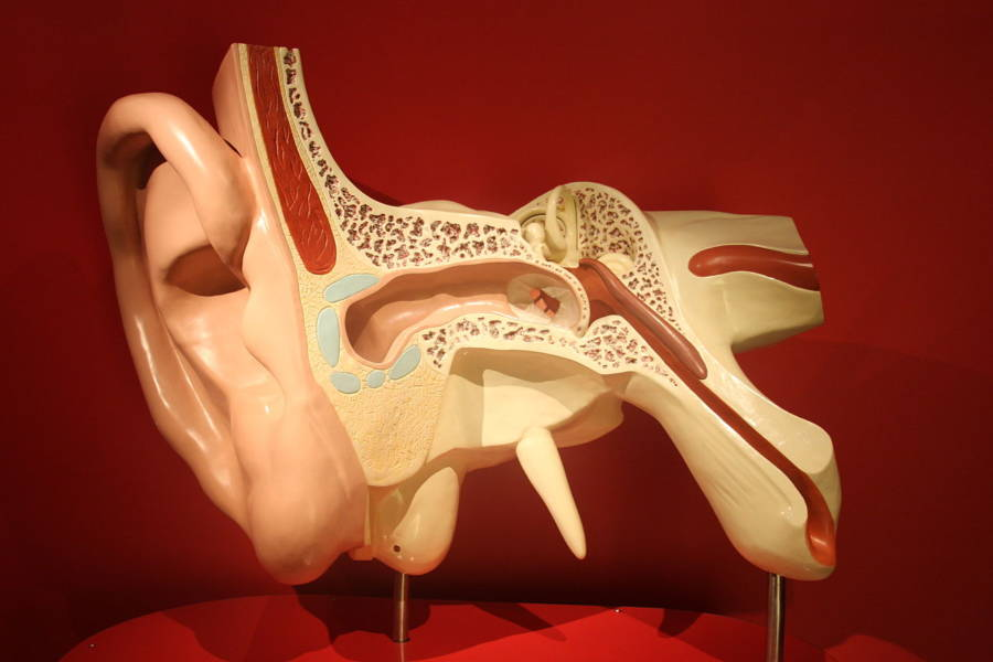 Model Of Human Ear