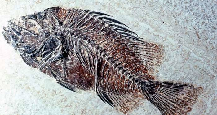Neolithic Fish Fossil