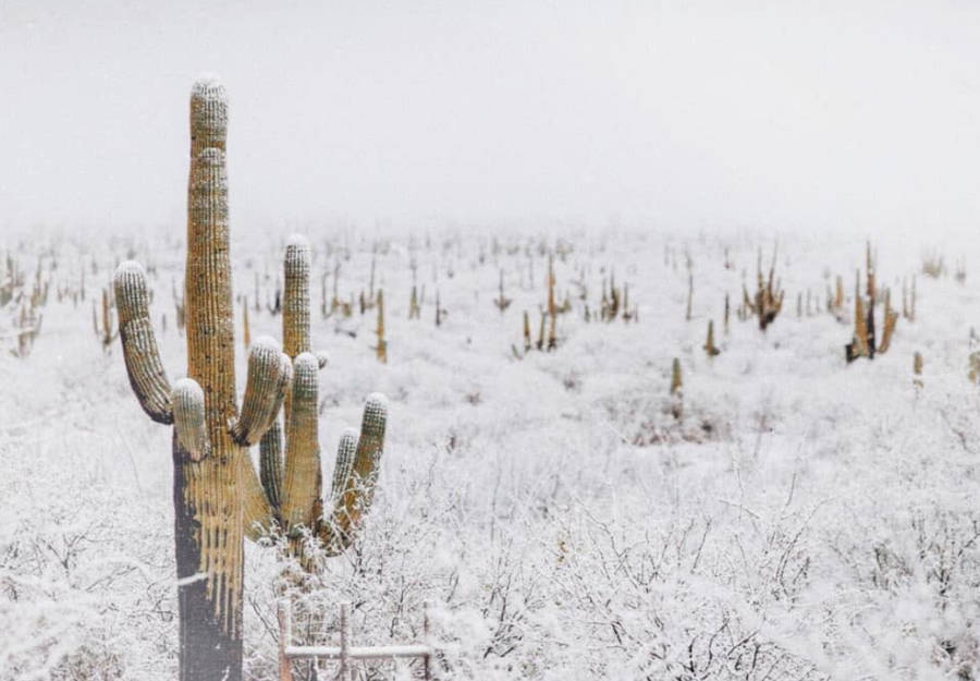 Winter White Skies Cacti