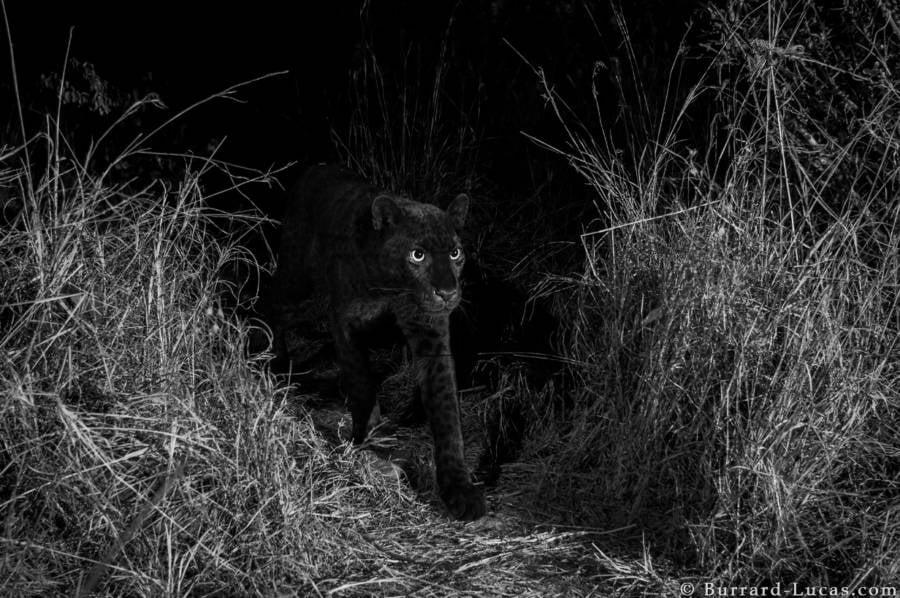 African Black Leopard