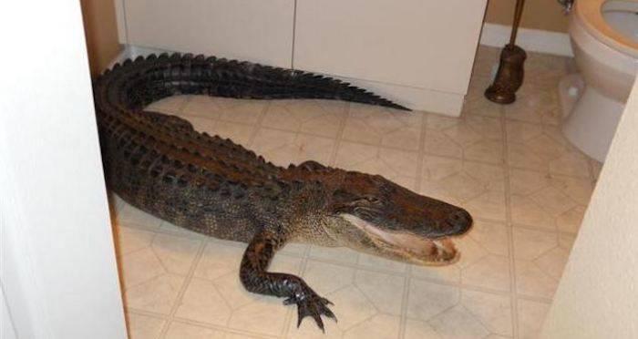 Police Find Alligator Named 'El Chompo' During Drug Bust