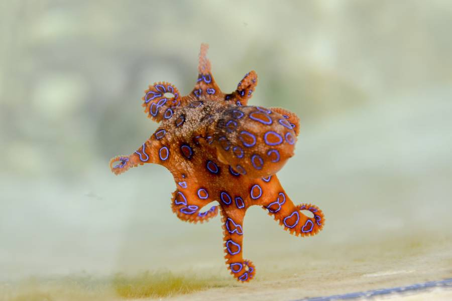 Blue Ringed Octopus Spreading Out