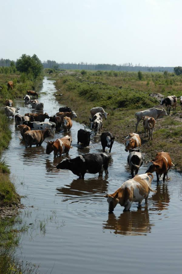 Cattle Around Exclusion Zone