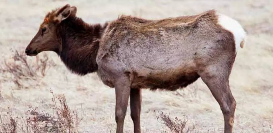 Chronic Wasting Disease Elk