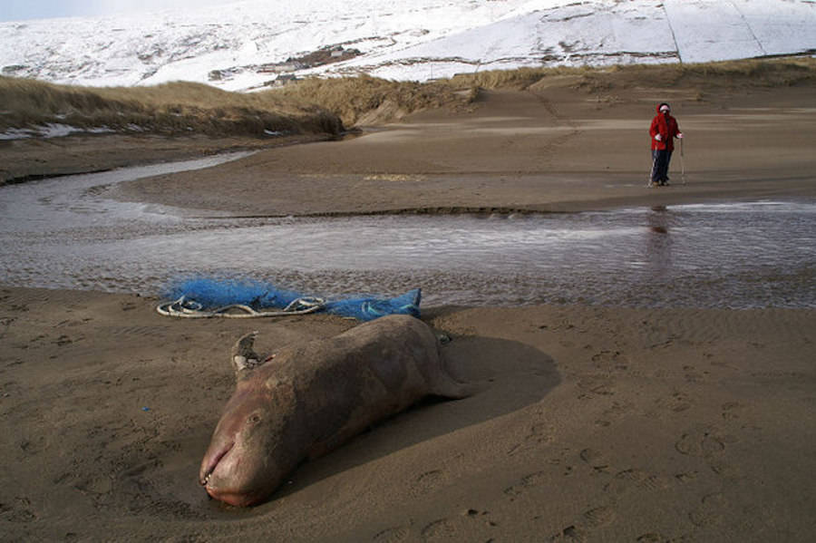 Dead Risso's Dolphin On British Shore