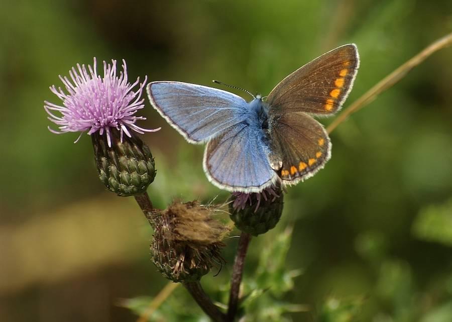 Gynandromorphism In Butterflies