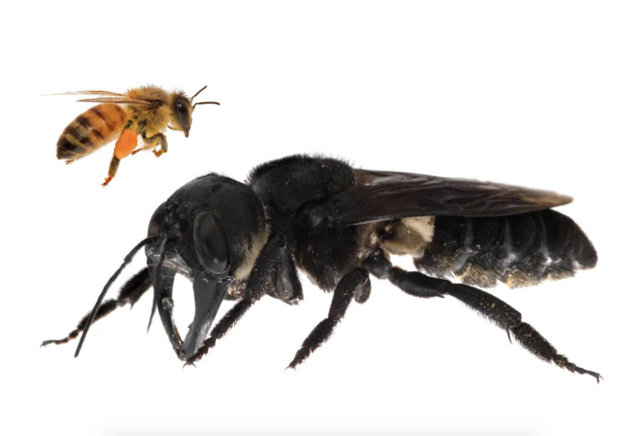 Honey Bee Wallaces Giant Bee Comparison