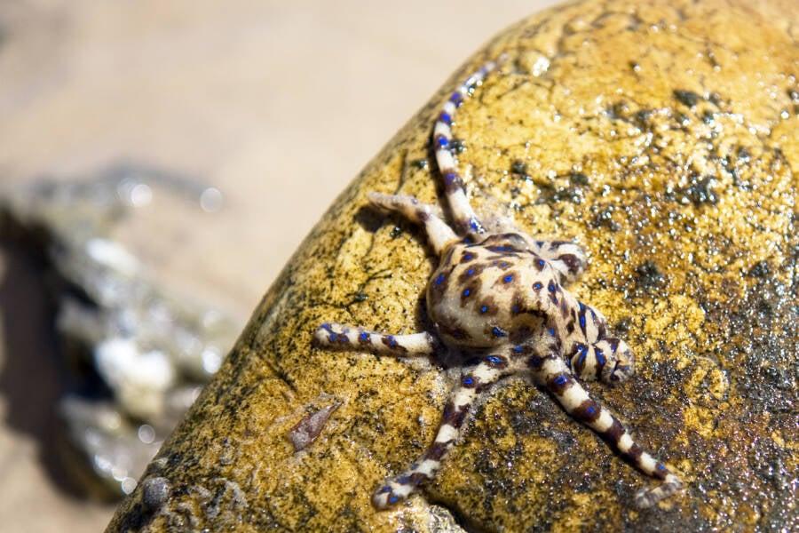 Human In Danger Of Blue Ringed Octopus Bite