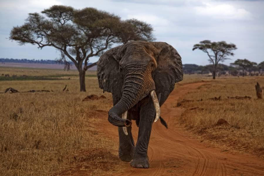 Loxodante Africana Elephant In Manyara Tanzania