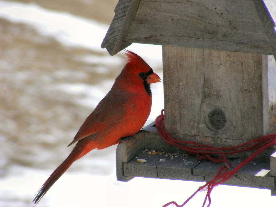 Male Northern Cardinal On Birdfeeder