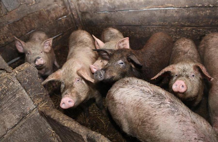 Pigsty Swine