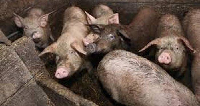 Russian Woman Eaten Alive By Pigs After Suffering Epileptic Fit And Falling Into Enclosure