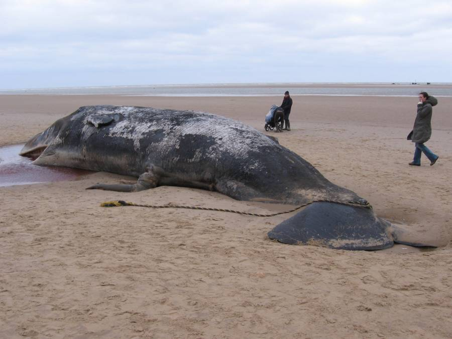 Sperm Whale Covered In Sand