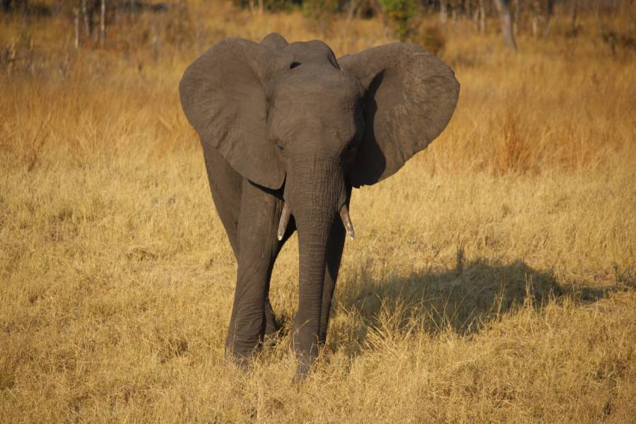Young Elephant In Zimbabwe