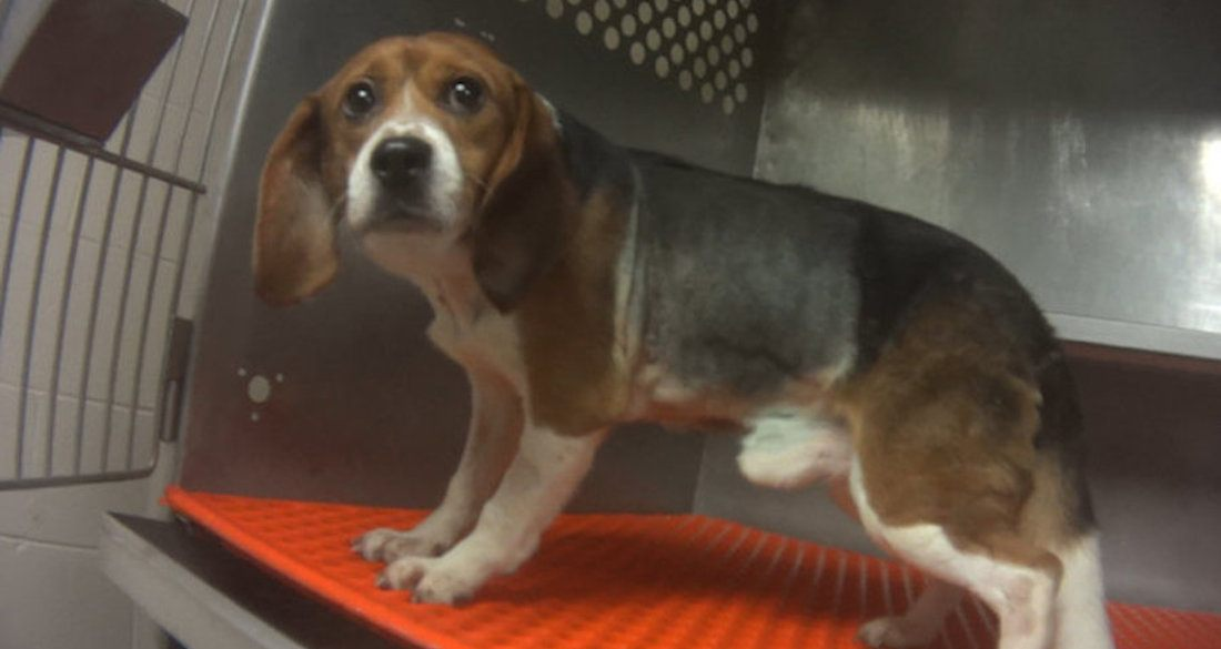 beagle-in-cage-featured.jpg