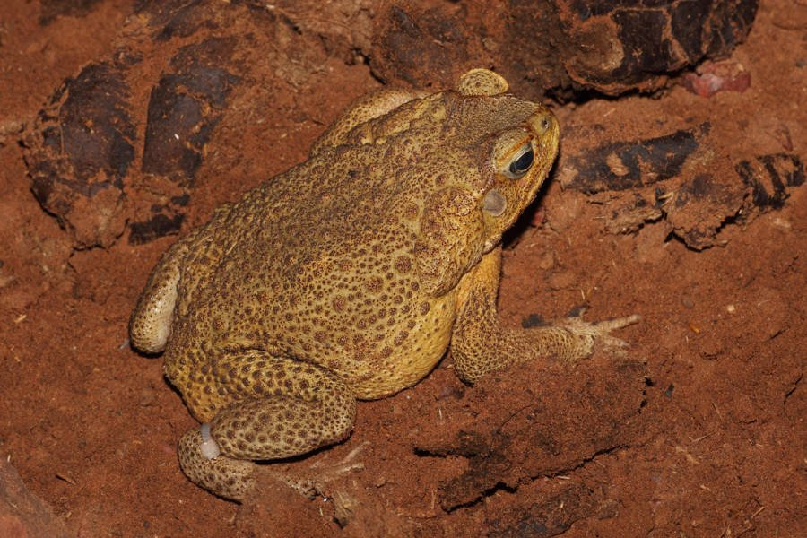 Bufo Toad: The Poisonous Terror Crippling Much Of Florida
