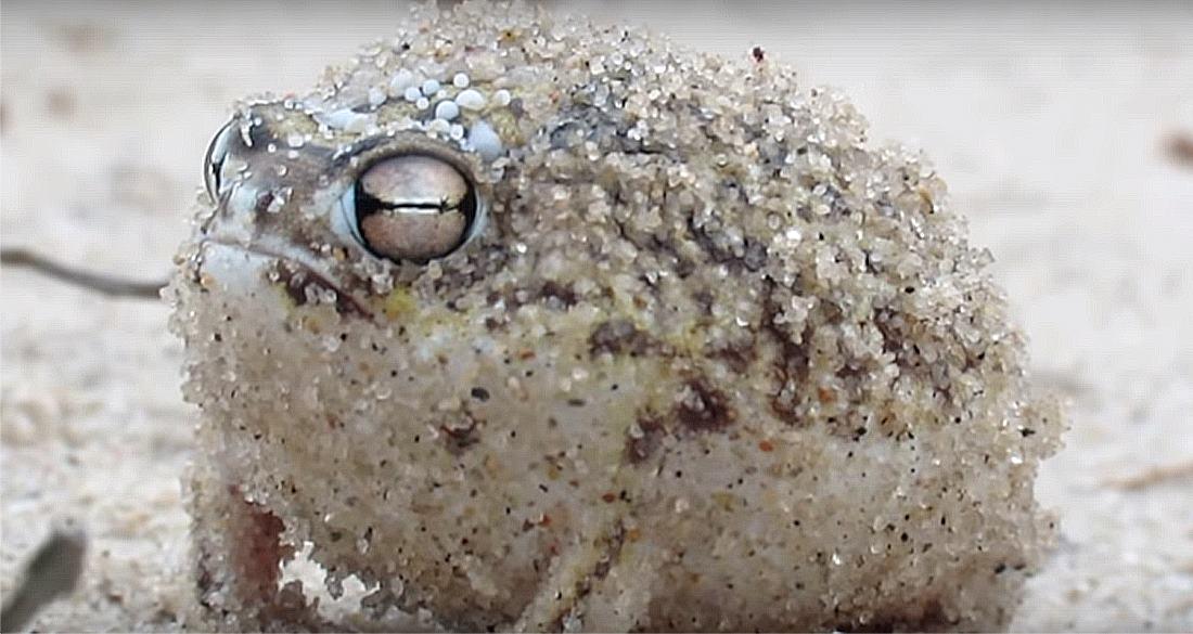 Desert Rain Frog: The Amphibian That Sounds Like A Dog's Chew Toy