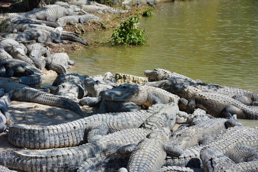 Dozens Of American Alligators