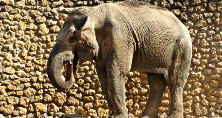 Flavia Saddest Elephant