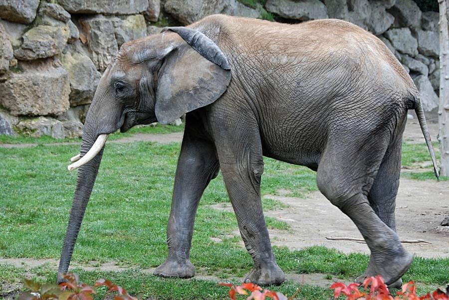Gaunt Captive Elephant