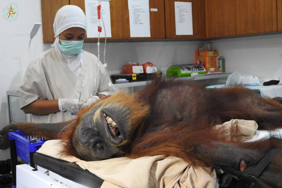 Hope The Orangutan Mid Surgery