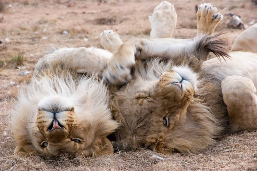 Lions On The Ground