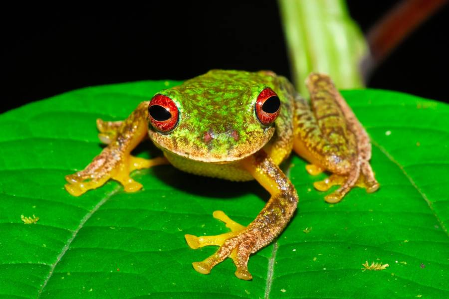 Mossy Red Eyed Frog