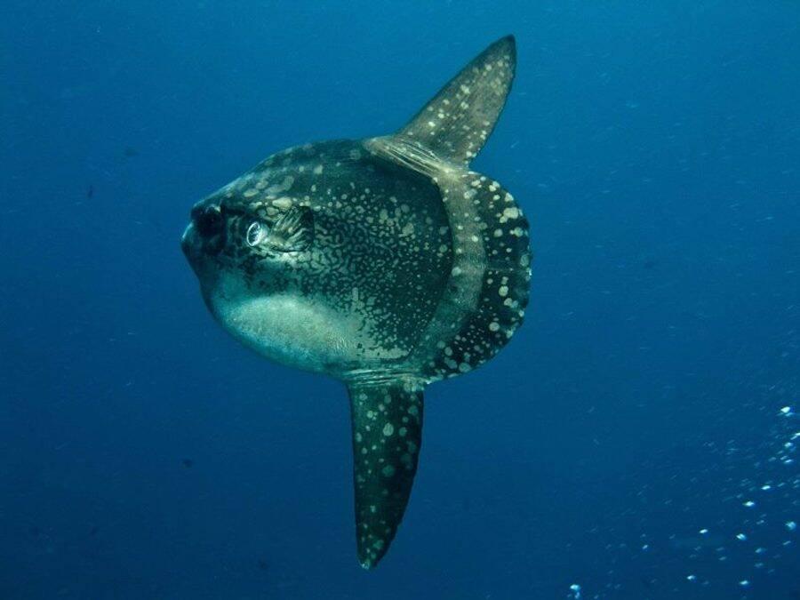 Ocean Sunfish In The Ocean