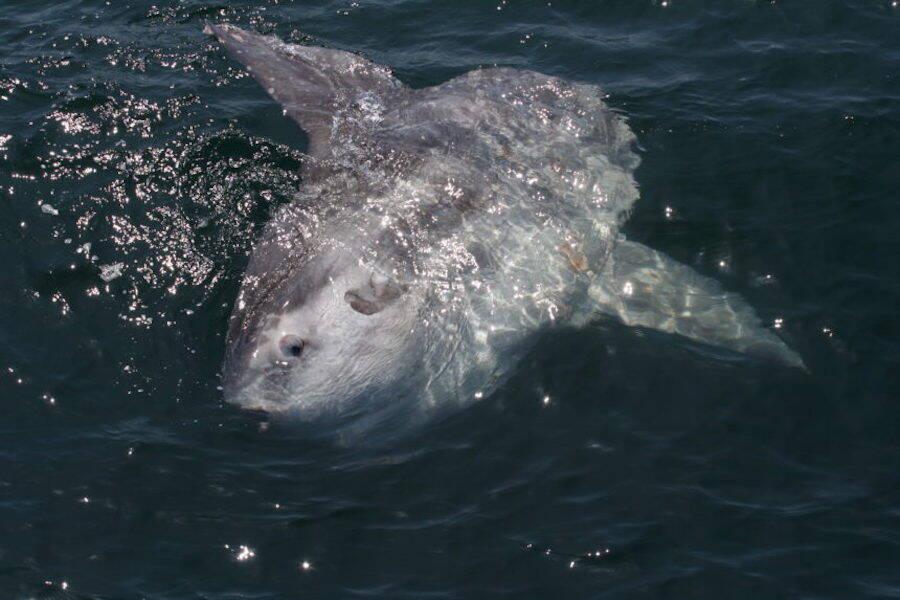Ocean Sunfish On The Surface