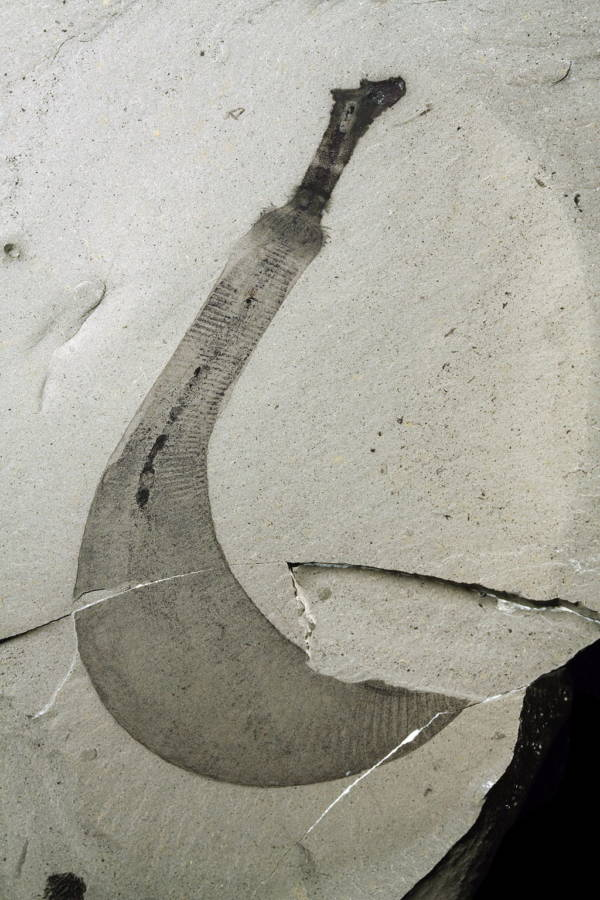 Ottoia Tricuspida Fossil Burgess Shale